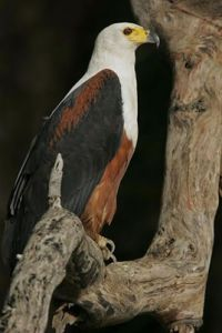 [1].African Fish Eagle[1]