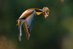 [1].European Bee-eater