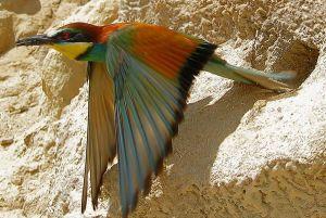 [1].European Bee-eater (2)