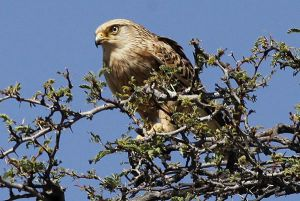 [1].Greater Kestrel