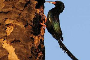 [1].Green Woodhoopoe[1]
