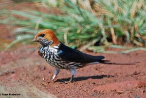 [1].Lesser Striped Swallow