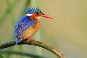 [1].Malachite Kingfisher