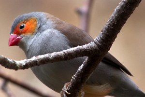 [1].Orange Cheeked Waxbill