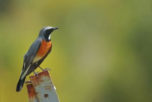 [1].White Throated Robin