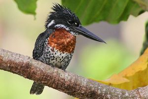 [1].giant Kingfisher