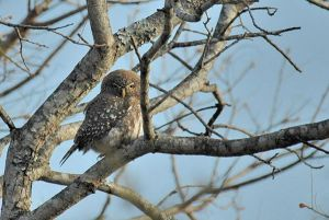 [1].pearl Spotted Owlet