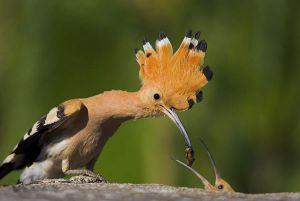 [3].African Hoopoe