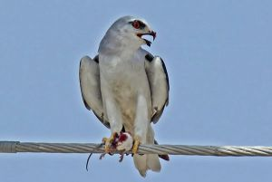 [3].Black Shouldered Kite