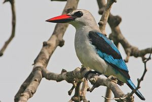 [3].Woodland Kingfisher